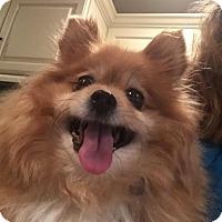 Adopt A Pet :: Foxy - Rockaway, NJ