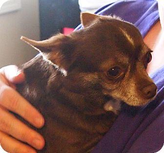 Chihuahua Dog for adoption in Prole, Iowa - Elsa