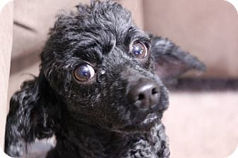 Poodle (Toy or Tea Cup) Dog for adoption in Bridgewater, New Jersey - Duffy