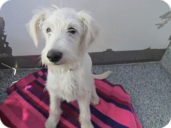 Poodle (Standard) Mix Dog for adoption in Pico Rivera, California - Babee