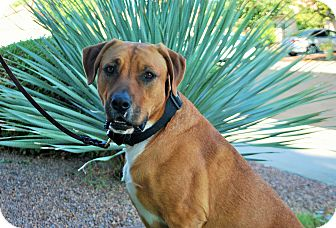 Hound (Unknown Type)/Retriever (Unknown Type) Mix Dog for adoption in Sherman Oaks, California - Charlie Brown