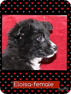 Australian Shepherd Mix Puppy for adoption in Washington, D.C. - Eloisa (Pom-Erin)
