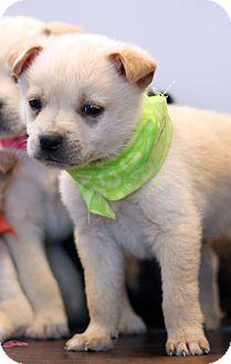 Shepherd (Unknown Type) Mix Puppy for adoption in Waldorf, Maryland - Jamaica
