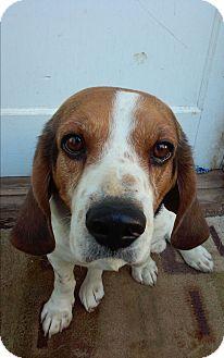 Basset Hound/Beagle Mix Dog for adoption in Santee, California - Waldo