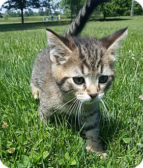 Domestic Shorthair Kitten for adoption in Oakland, Michigan - Ivy