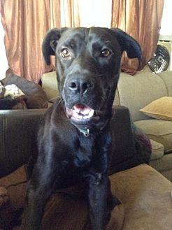 Labrador Retriever/Boxer Mix Dog for adoption in Rancho Santa Margarita, California - ZZ-Marley *courtesy post