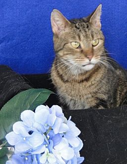 Domestic Shorthair Cat for adoption in Carneys Point, New Jersey - Daisy