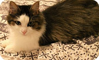 Domestic Mediumhair Cat for adoption in THORNHILL, Ontario - JEMMA