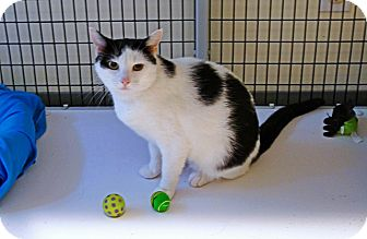 Domestic Shorthair Cat for adoption in Victor, New York - Daisy