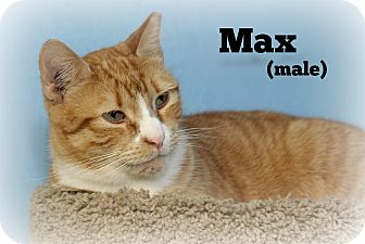 Domestic Shorthair Cat for adoption in Glen Mills, Pennsylvania - Max