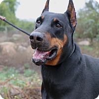 Adopt A Pet :: Axel - Fillmore, CA