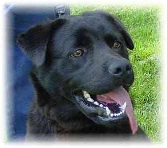 Labrador Retriever/Newfoundland Mix Dog for adoption in Spencerport, New York - Buddy