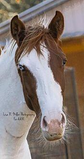 Appaloosa/Paint/Pinto Mix for adoption in Freeport, Florida - Sarah (Horse)