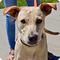 Labrador Retriever Mix Dog for adoption in CRANSTON, Rhode Island - Korra