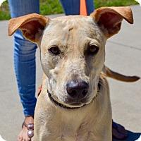 Adopt A Pet :: Korra - CRANSTON, RI