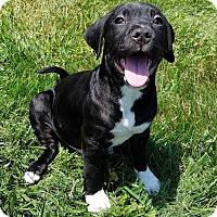 Adopt A Pet :: Happy (Sophia pups) - Wenonah, NJ