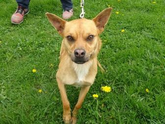 Chihuahua/Welsh Terrier Mix Dog for adoption in Delaware, Ohio - Baby