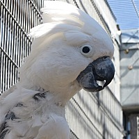Cockatoo for adoption in Elizabeth, Colorado - Fred