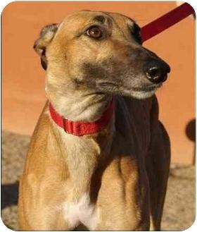 Greyhound Dog for adoption in San Diego, California - Steamy
