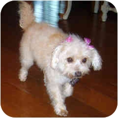 Bichon Frise Mix Dog for adoption in La Costa, California - Pixie