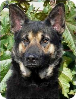 German Shepherd Dog Mix Dog for adoption in Los Angeles, California - Carrington von Malibu