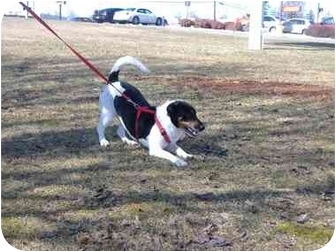 Basset Hound/Jack Russell Terrier Mix Dog for adoption in Rochester, New Hampshire - Tootsie