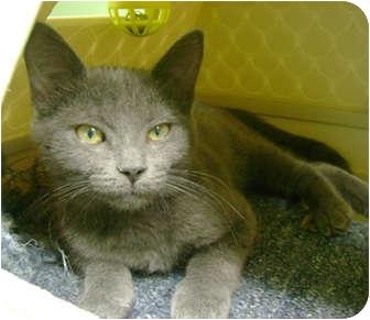 Domestic Shorthair Kitten for adoption in Creston, British Columbia - Fraidy