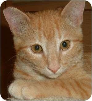 Domestic Shorthair Kitten for adoption in Las Vegas, Nevada - Theodor