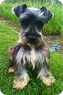 Schnauzer (Miniature) Dog for adoption in Irvine, California - ALPHIE