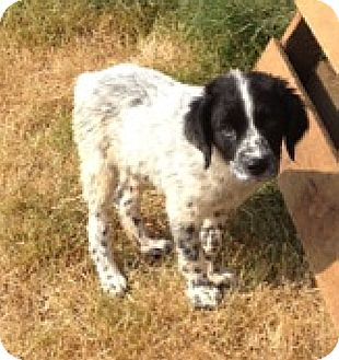 Pointer/Border Collie Mix Puppy for adoption in Beacon, New York - Jessie