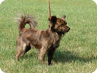 Pomeranian/Spaniel (Unknown Type) Mix Dog for adoption in South Haven, Michigan - Louie