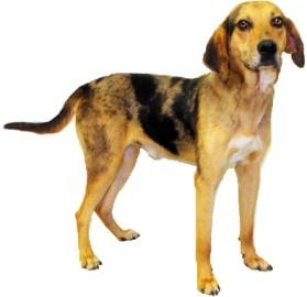 Catahoula Leopard Dog/Hound (Unknown Type) Mix Dog for adoption in Inverness, Florida - Huck