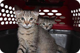 Abyssinian Kitten for adoption in Santa Monica, California - Sandy