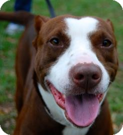 American Pit Bull Terrier Mix Dog for adoption in Gainesville, Florida - Hershey