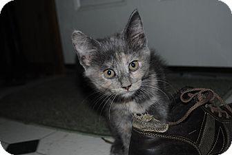 Domestic Shorthair Kitten for adoption in Paintsville, Kentucky - Juno