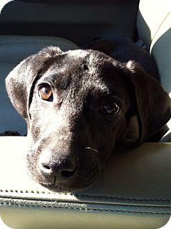 Labrador Retriever/Spaniel (Unknown Type) Mix Puppy for adoption in CHICAGO, Illinois - LAILA