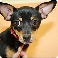 Adopt A Pet :: Saffron - Broomfield, CO