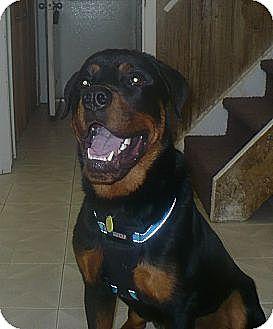 Rottweiler Dog for adoption in Rexford, New York - Everett- ADOPTION PENDING