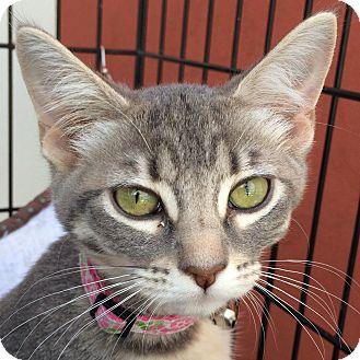 Domestic Shorthair Kitten for adoption in Winchester, California - Anna