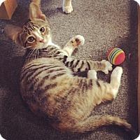 Adopt A Pet :: Ripple - Raleigh, NC
