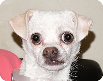 Chihuahua Mix Dog for adoption in Spokane, Washington - Teeney Weene