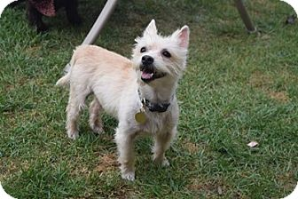 Cairn Terrier Dog for adoption in Beavercreek, Ohio - Blizzard