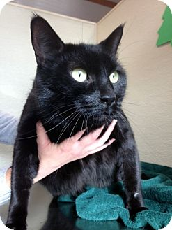 Domestic Shorthair Cat for adoption in Las Vegas, Nevada - Benny