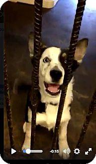 Australian Cattle Dog Mix Dog for adoption in Boston, Massachusetts - Poppy