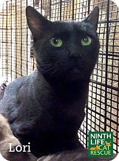 Domestic Shorthair Cat for adoption in Oakville, Ontario - Lori