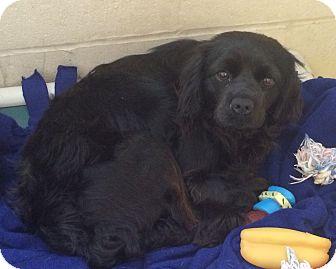 Cocker Spaniel Mix Dog for adoption in Greensburg, Pennsylvania - Sheera