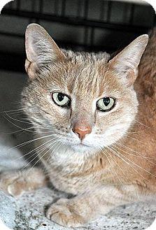 Domestic Shorthair Cat for adoption in Fort Leavenworth, Kansas - Tyson