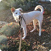 Jindo/Labrador Retriever Mix Dog for adoption in Los Angeles, California - Shelby
