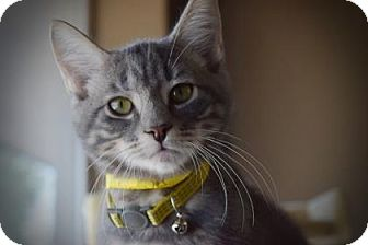 Domestic Shorthair Kitten for adoption in Wichita, Kansas - Chein Po