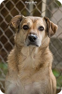 Terrier (Unknown Type, Medium)/Shepherd (Unknown Type) Mix Dog for adoption in Greensburg, Pennsylvania - Abby